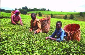 Kinderarbeit bei der Tee-Ernte. (Quelle: Christoph Engel)