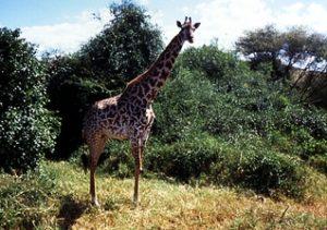 Eine Giraffe in einem Nationalpark. (Quelle: Imke Häusler)